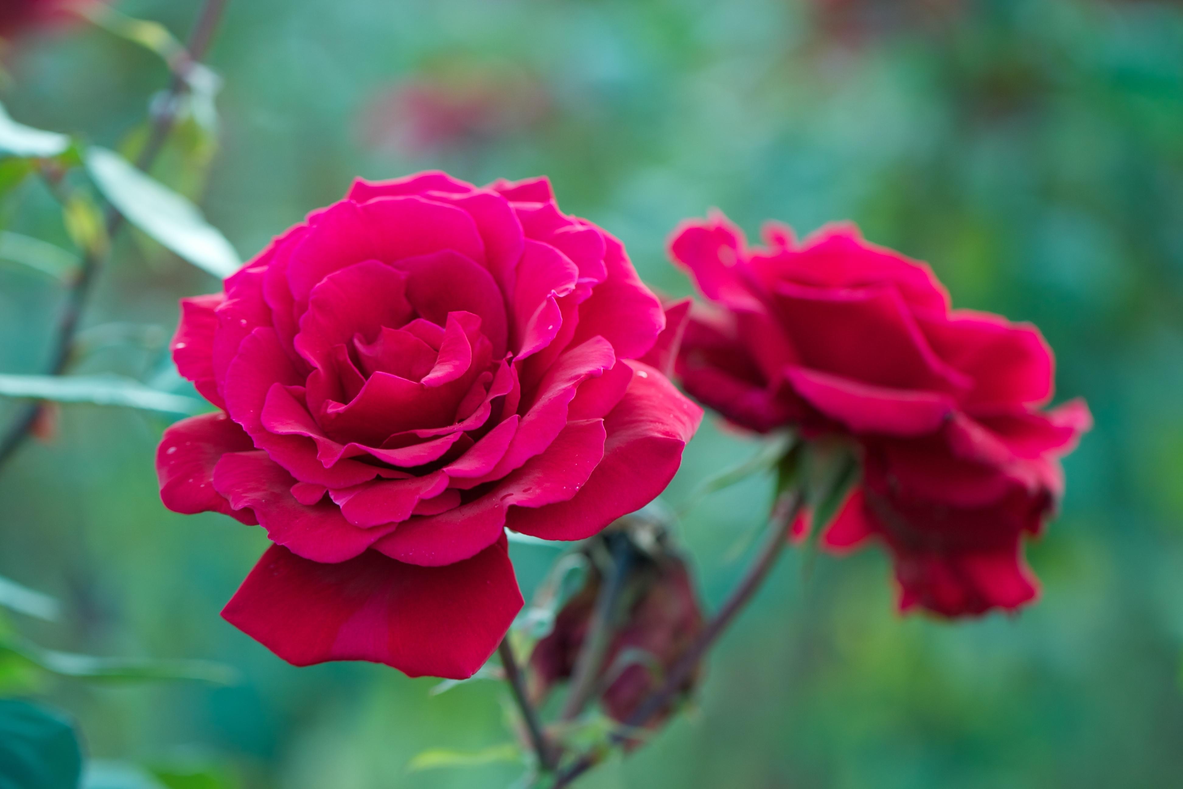 Кроваво-красные розы флорибунда