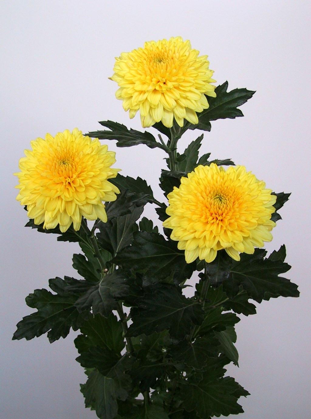 Яркие желтые хризантемы