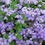 Потрясающий агератум: забота о растении