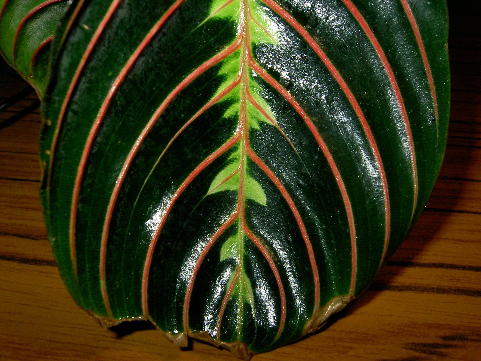 Крупный лист маранты