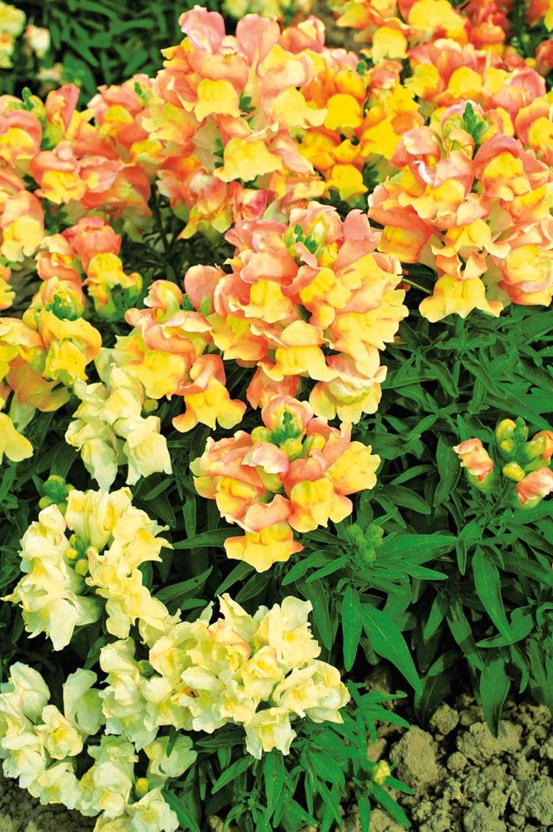Желтые и оранжевые цветы львиного зева