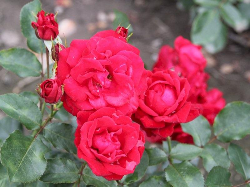Яркие красные соцветия роз