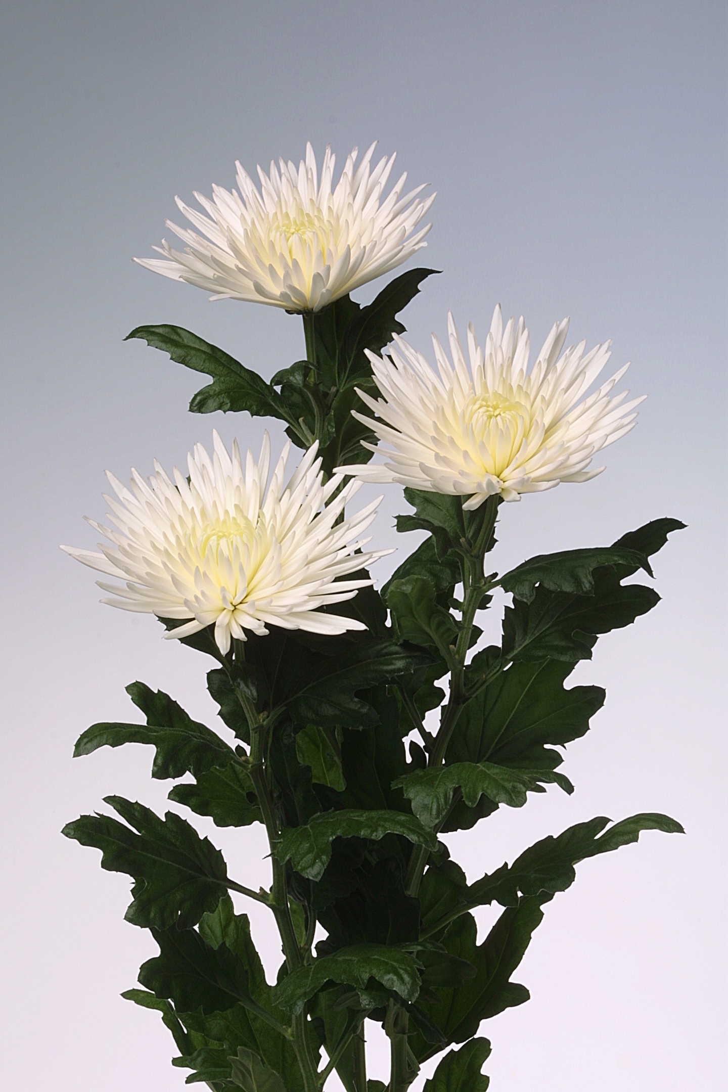 Белая хризантема с острыми лепестками