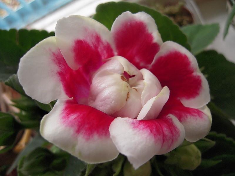 Яркий цветок глоксинии