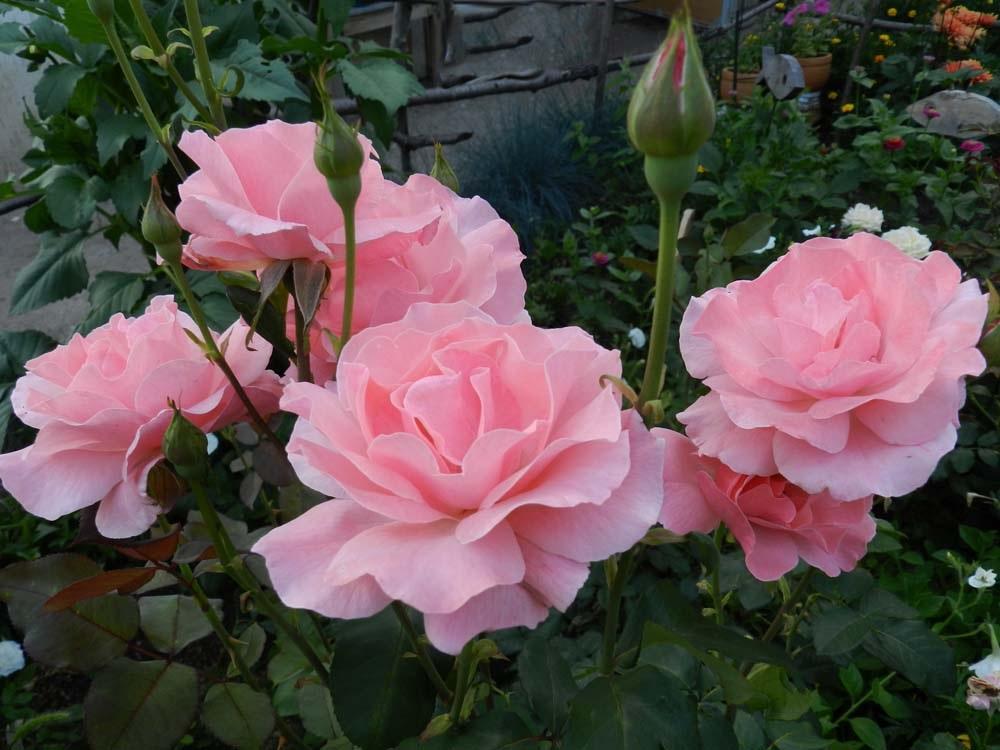 Нежные розовые лепестки