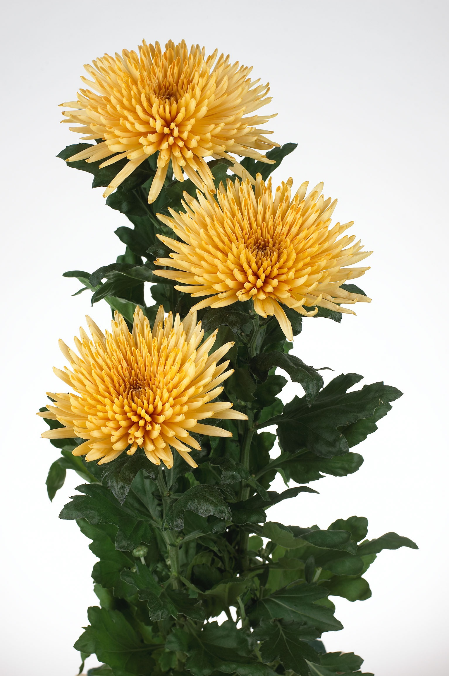 Блідо-жовті квіти хризантем