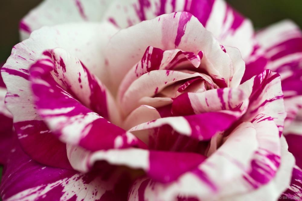 Пестрое сочетание оттенков на лепестках розы