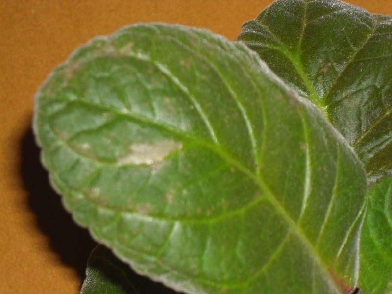 Зеленый лист глоксинии