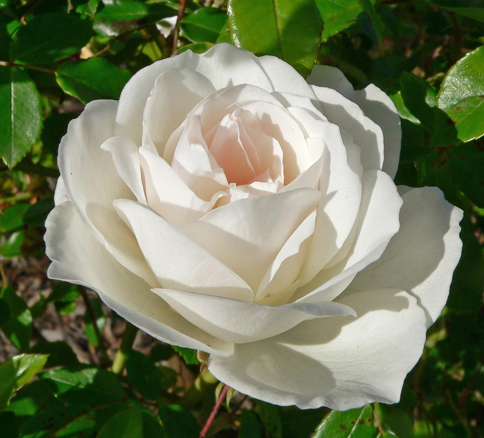 Нежная белая роза