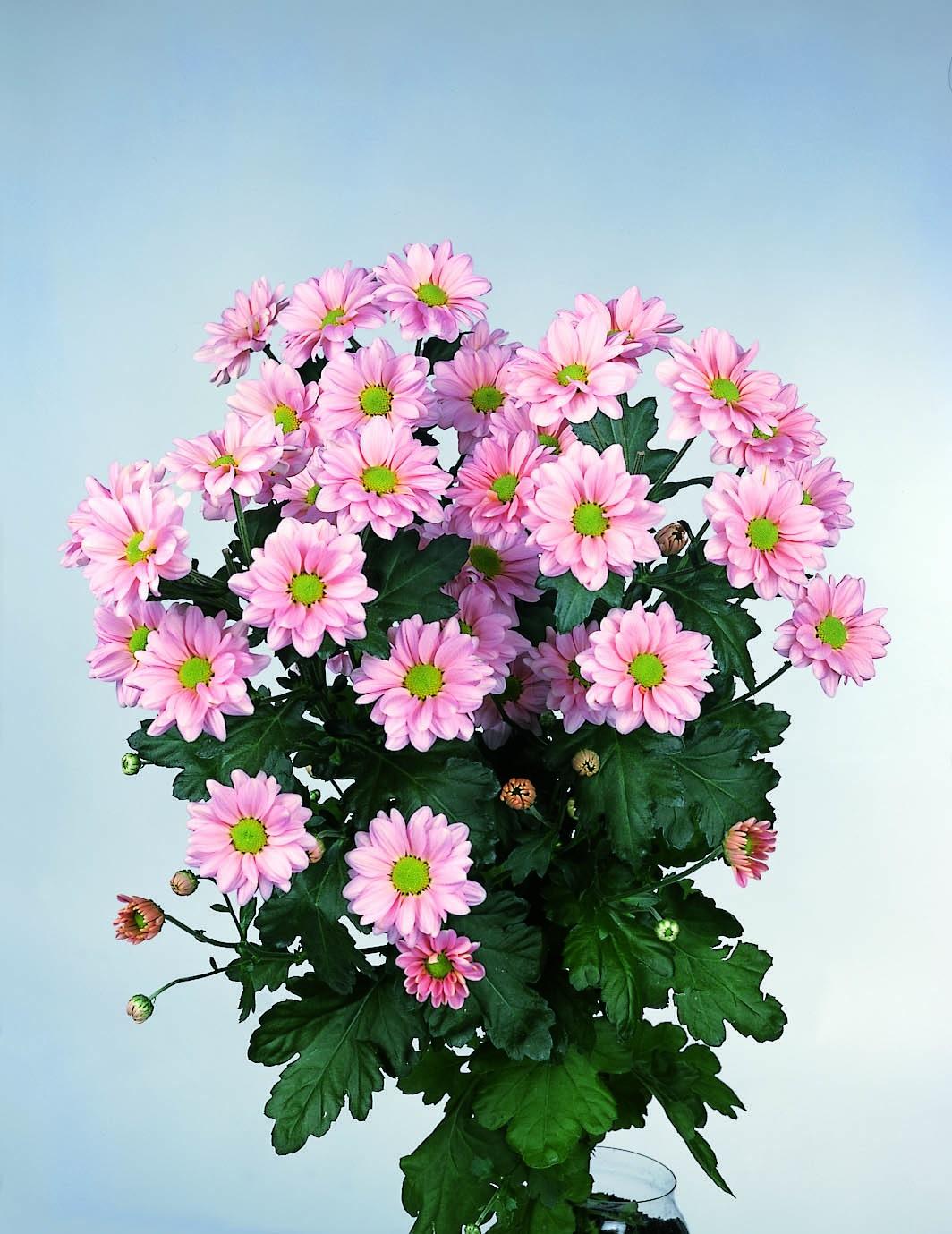 Рожеві гілки хризантеми