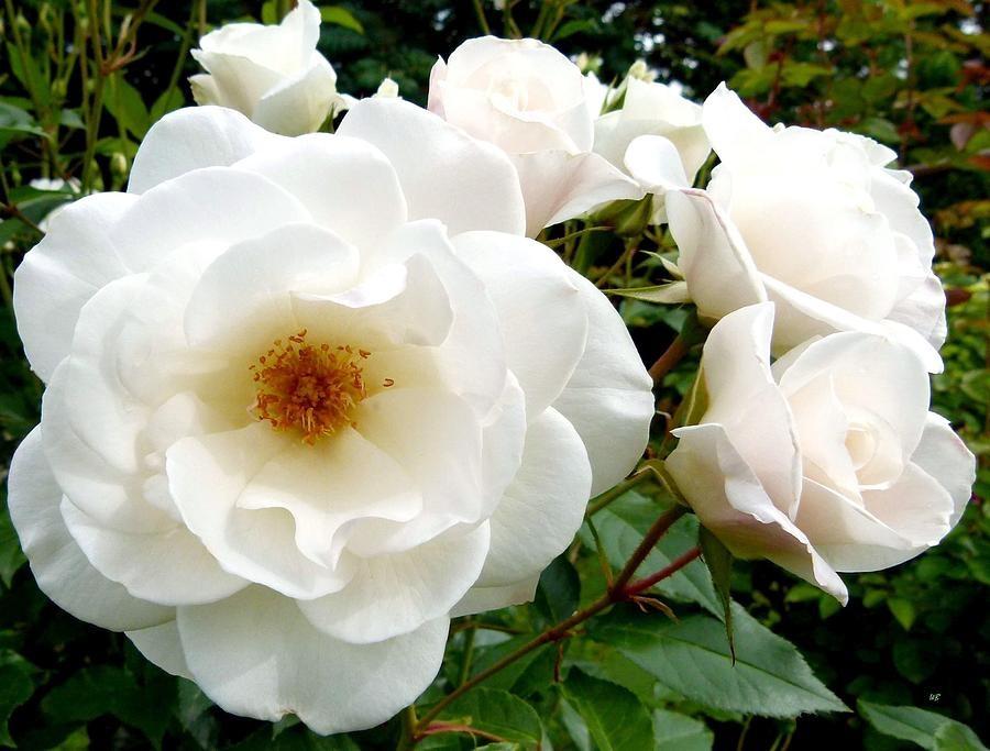 Раскрывашаяся белая роза