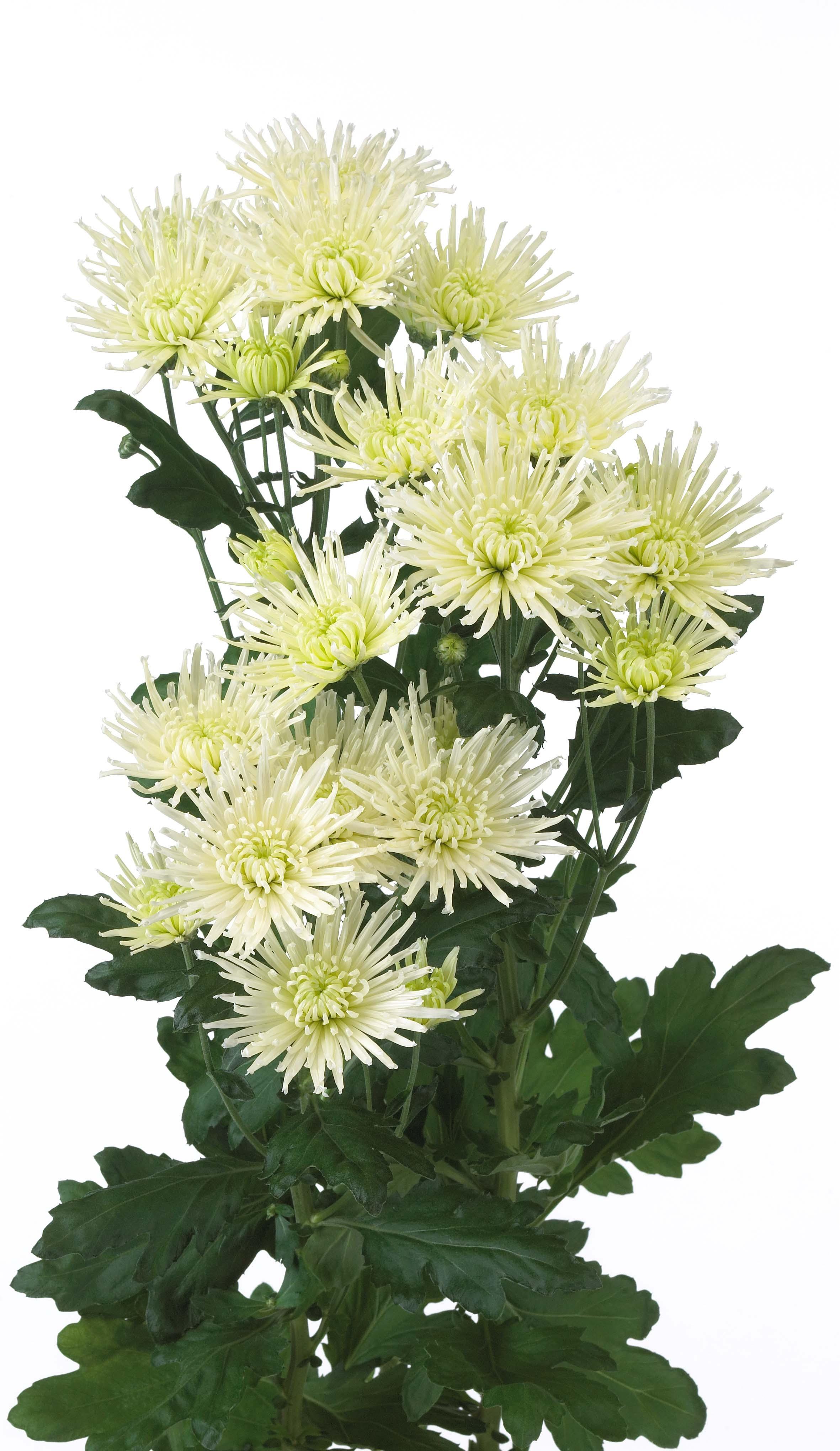 Средние цветы хризантемы