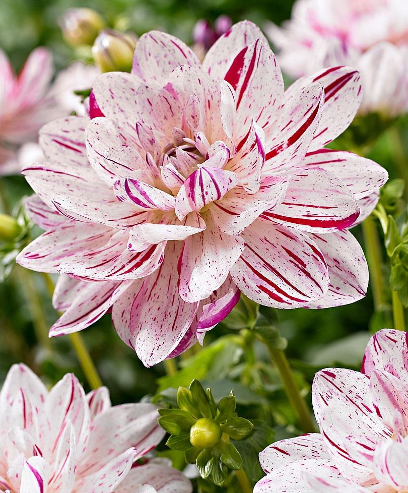 Белые с розовыми вкраплениями цветы георгины