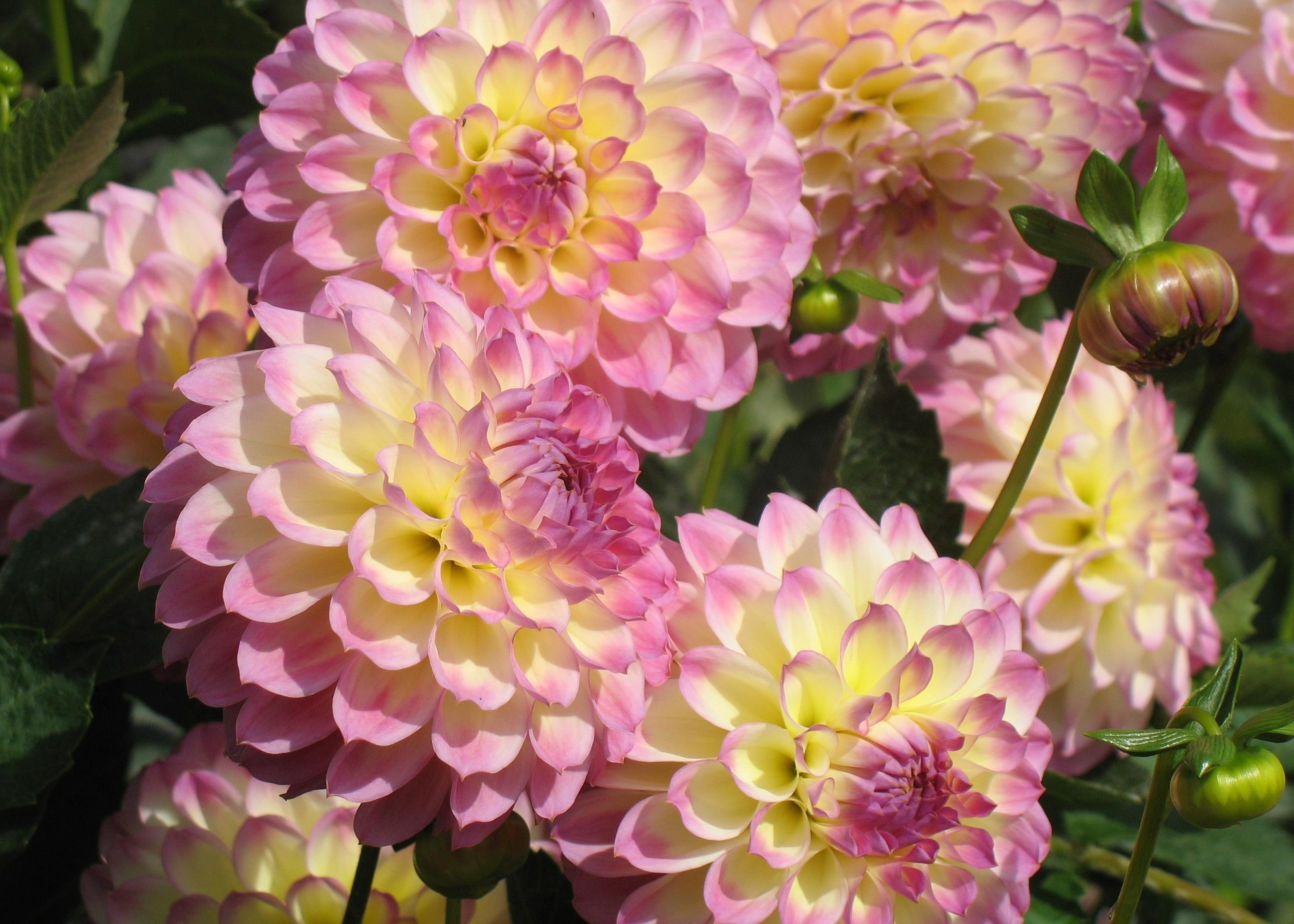 Пышное цветение георгин