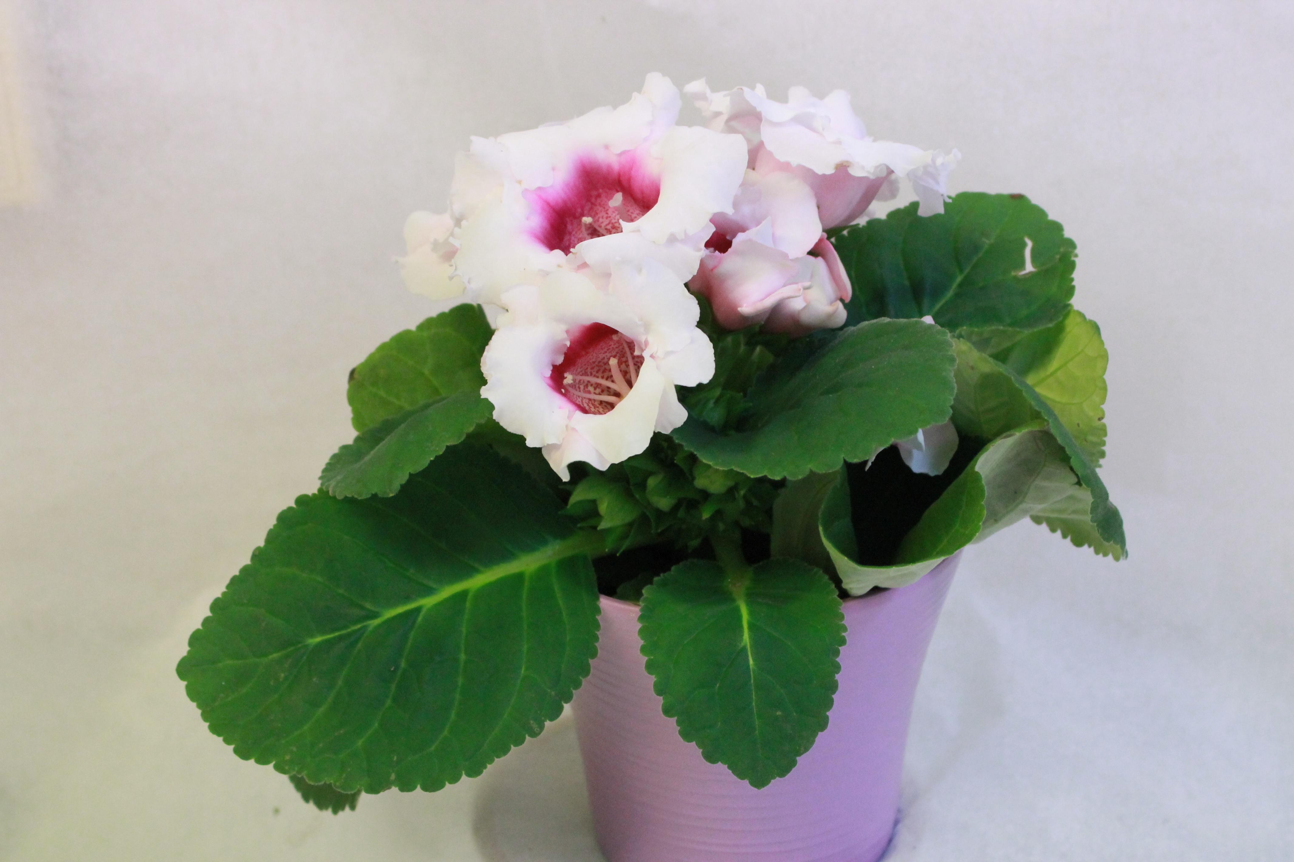 Бело-розовые цветы глоксинии