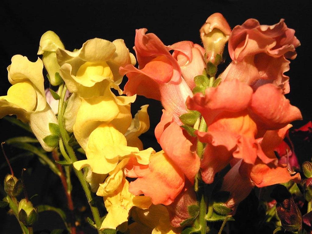 Желтый и оранжевый цветок львиного зева