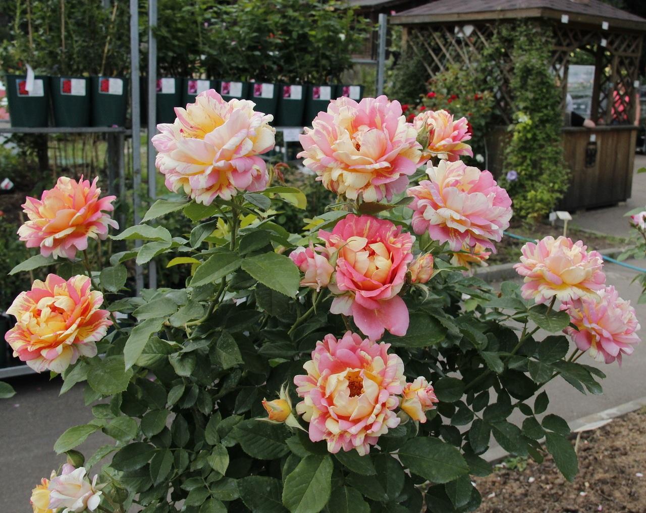 Сочетание двух оттенков в одной розе