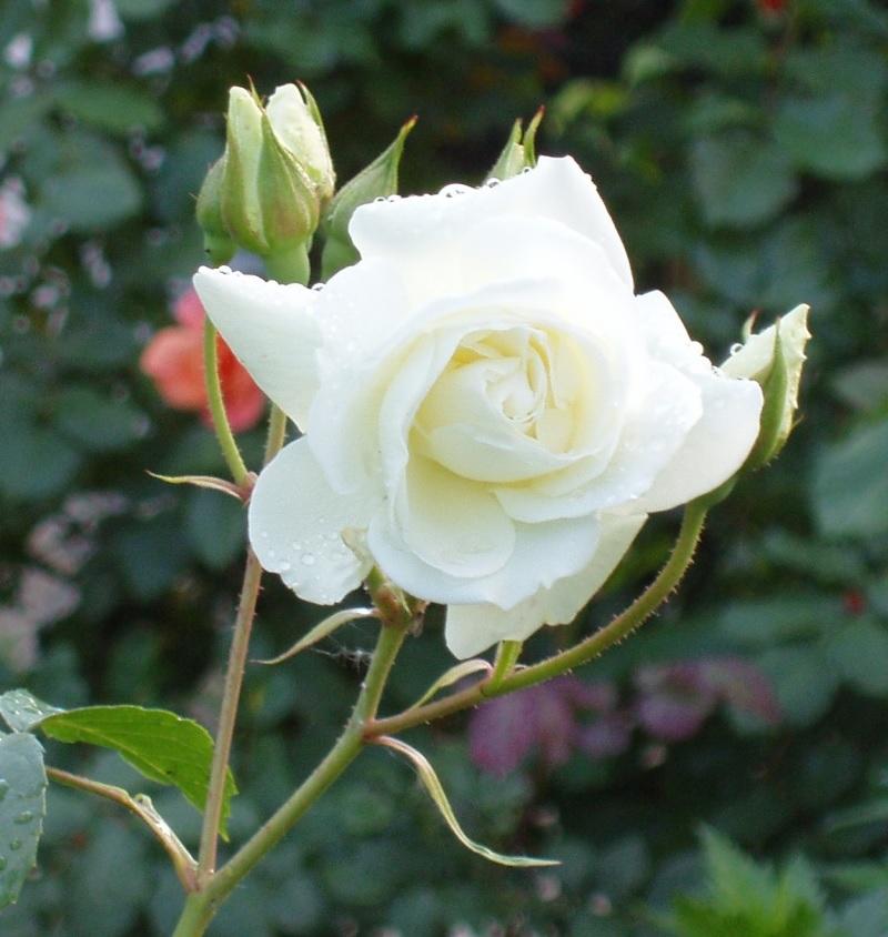Белый цветок розы флорибунда