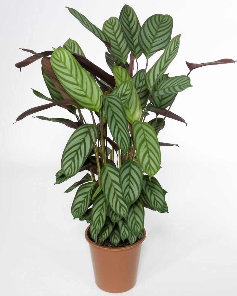 Взрослое растение маранты