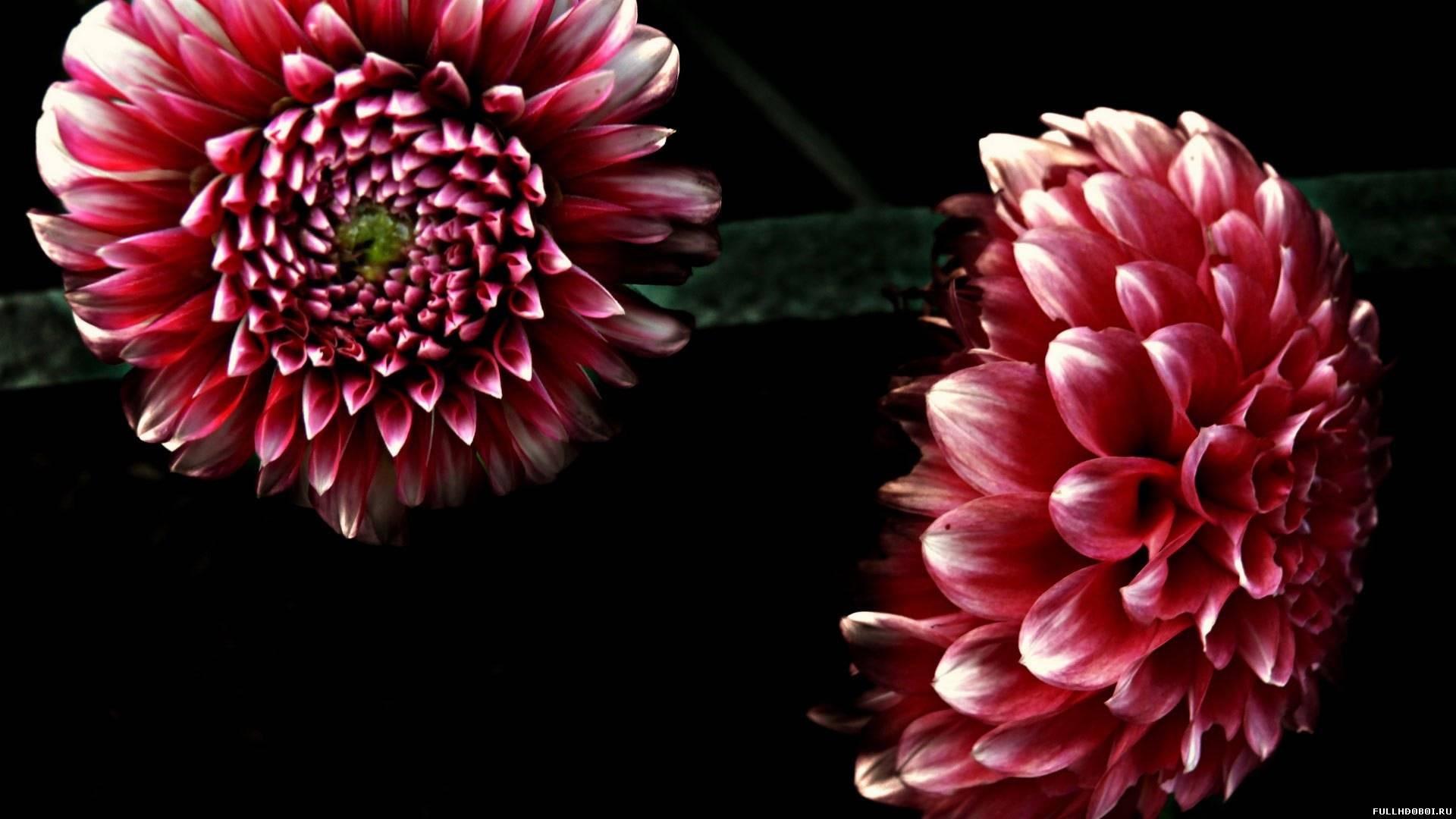 Сочетание темного цвета с белым на цветке георгины
