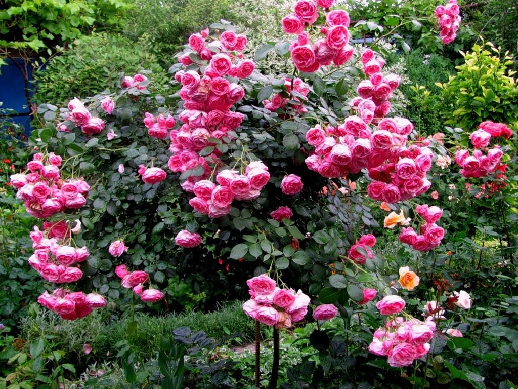Пышный розовый куст