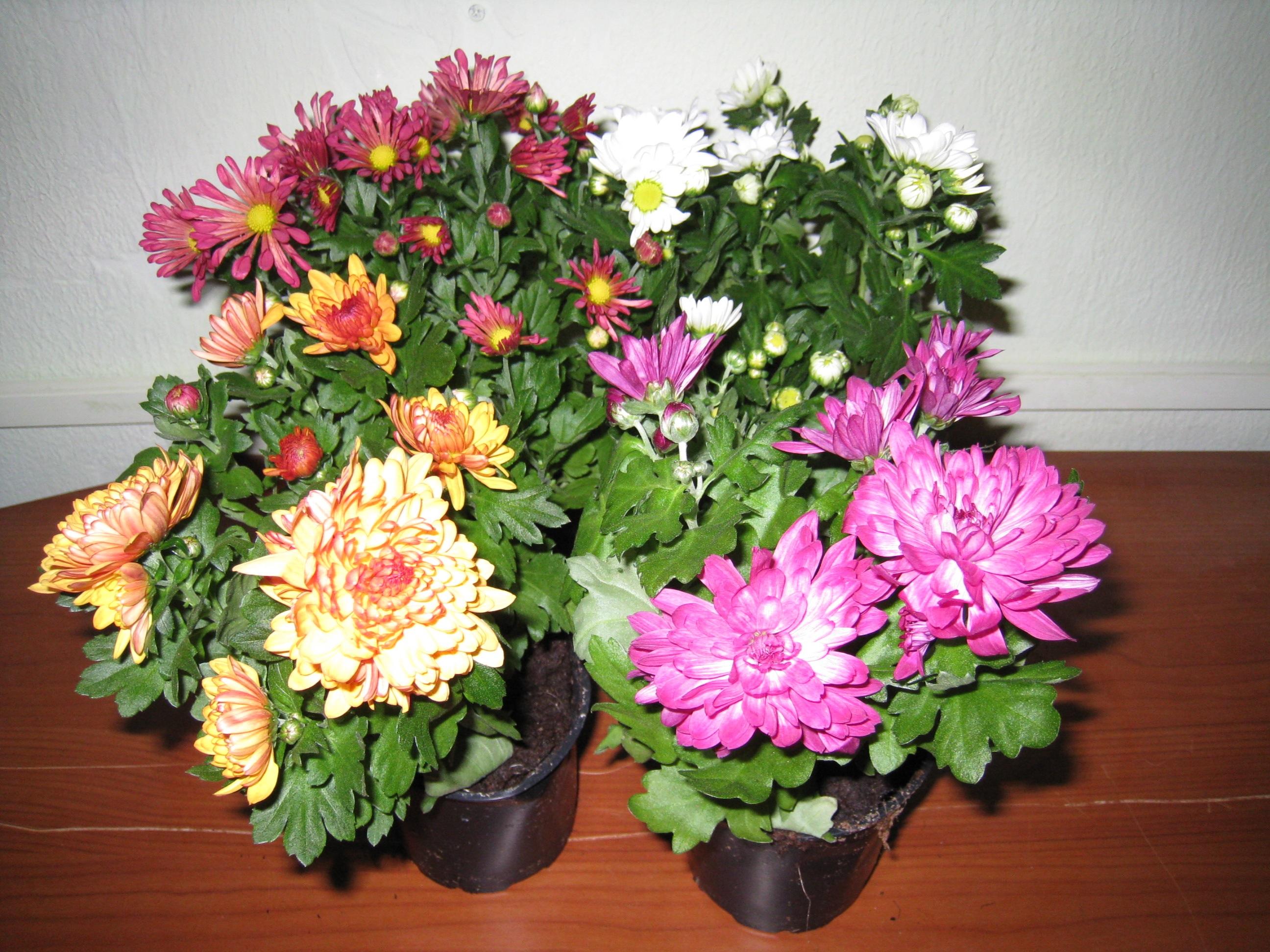 Несколько видов хризантем