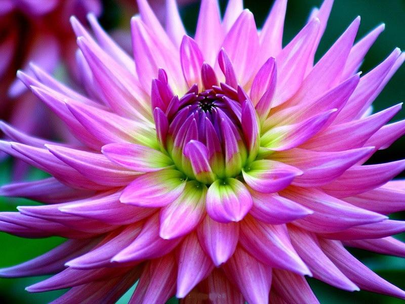 Острые лепестки цветка георгины
