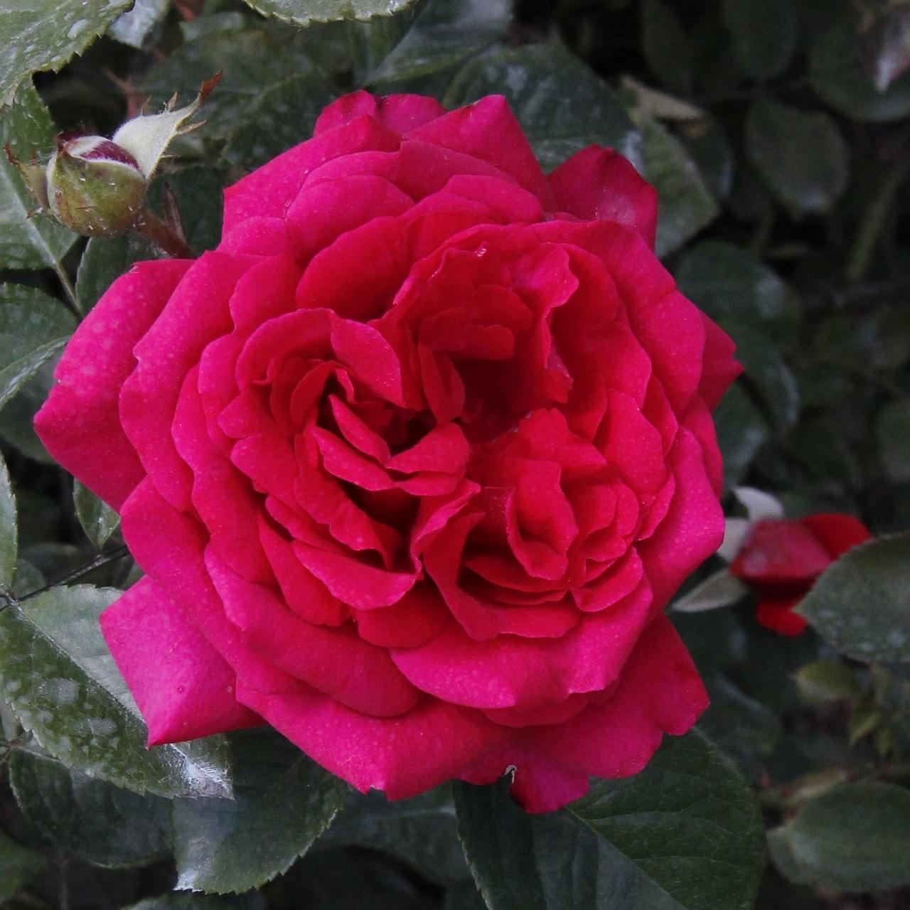 Розовый шарообразный цветок