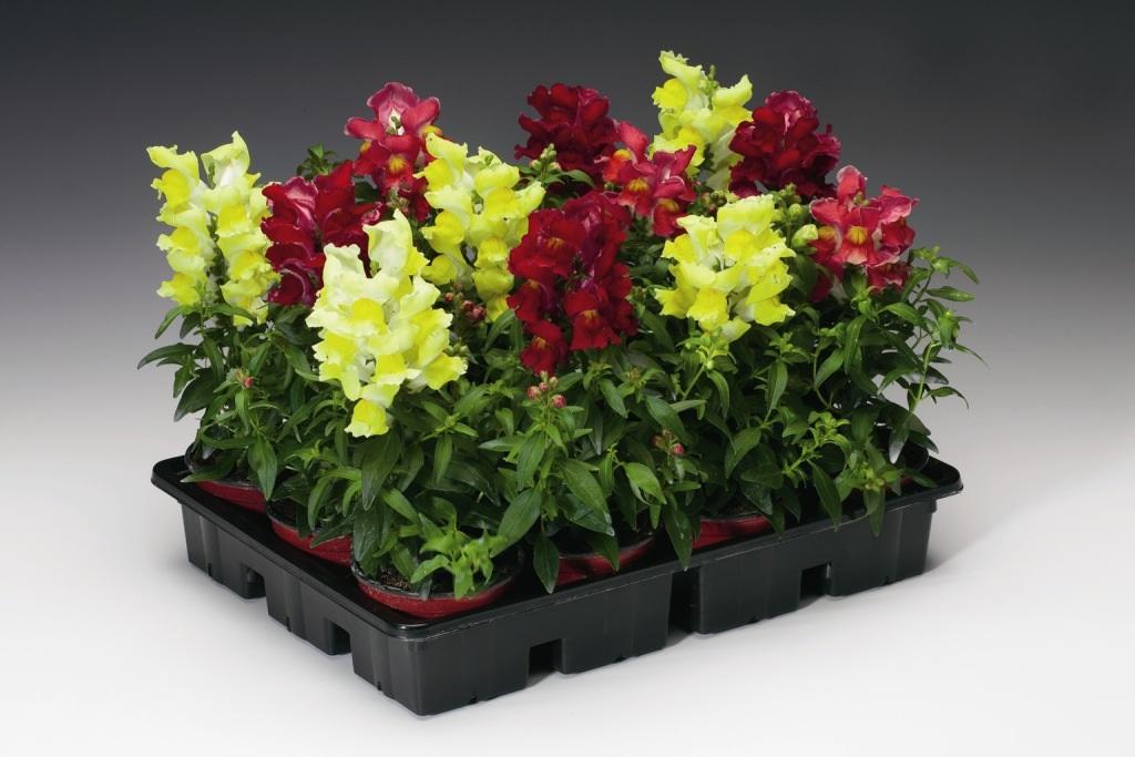Яркие цветы в небольших горшках