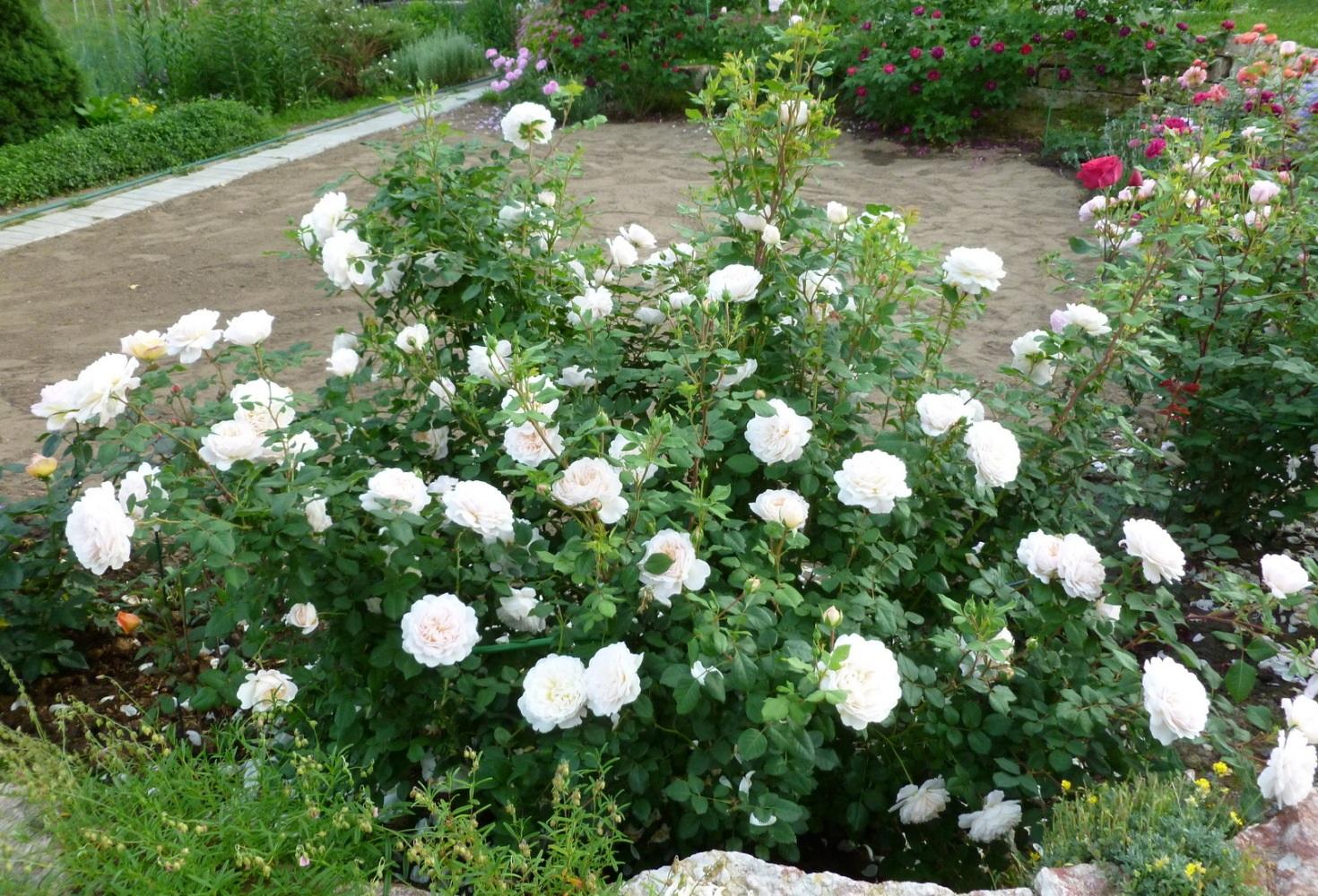 Белые соцветия розы флорибунда