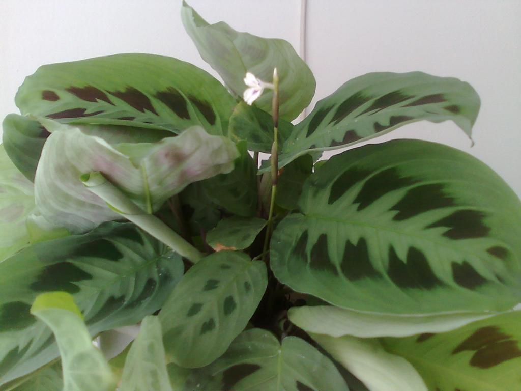 Светлые и темные оттенки на листьях маранты