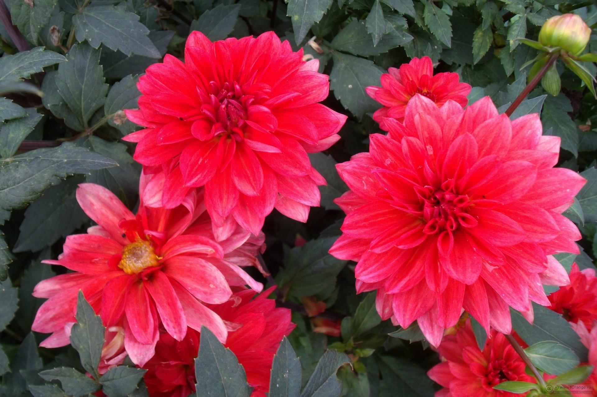 Алые цветы георгины