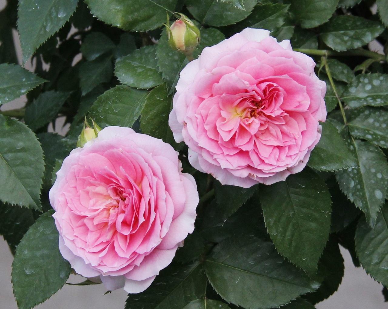 Множество лепестков на цветке розы