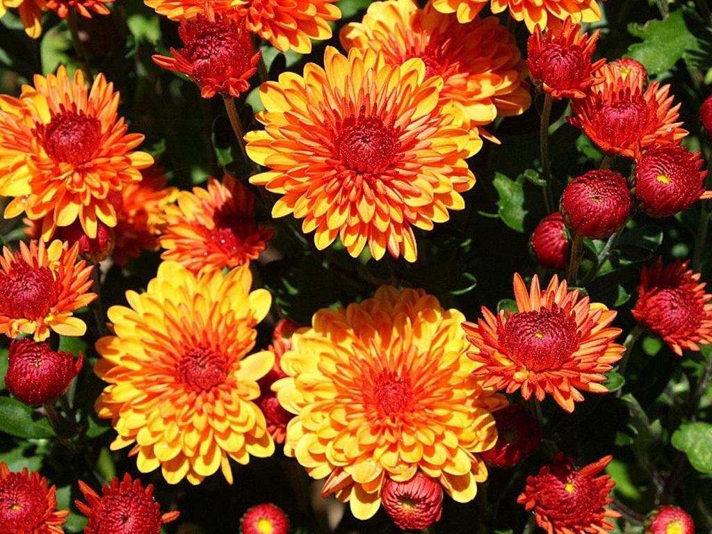 Строкаті квіти хризантеми