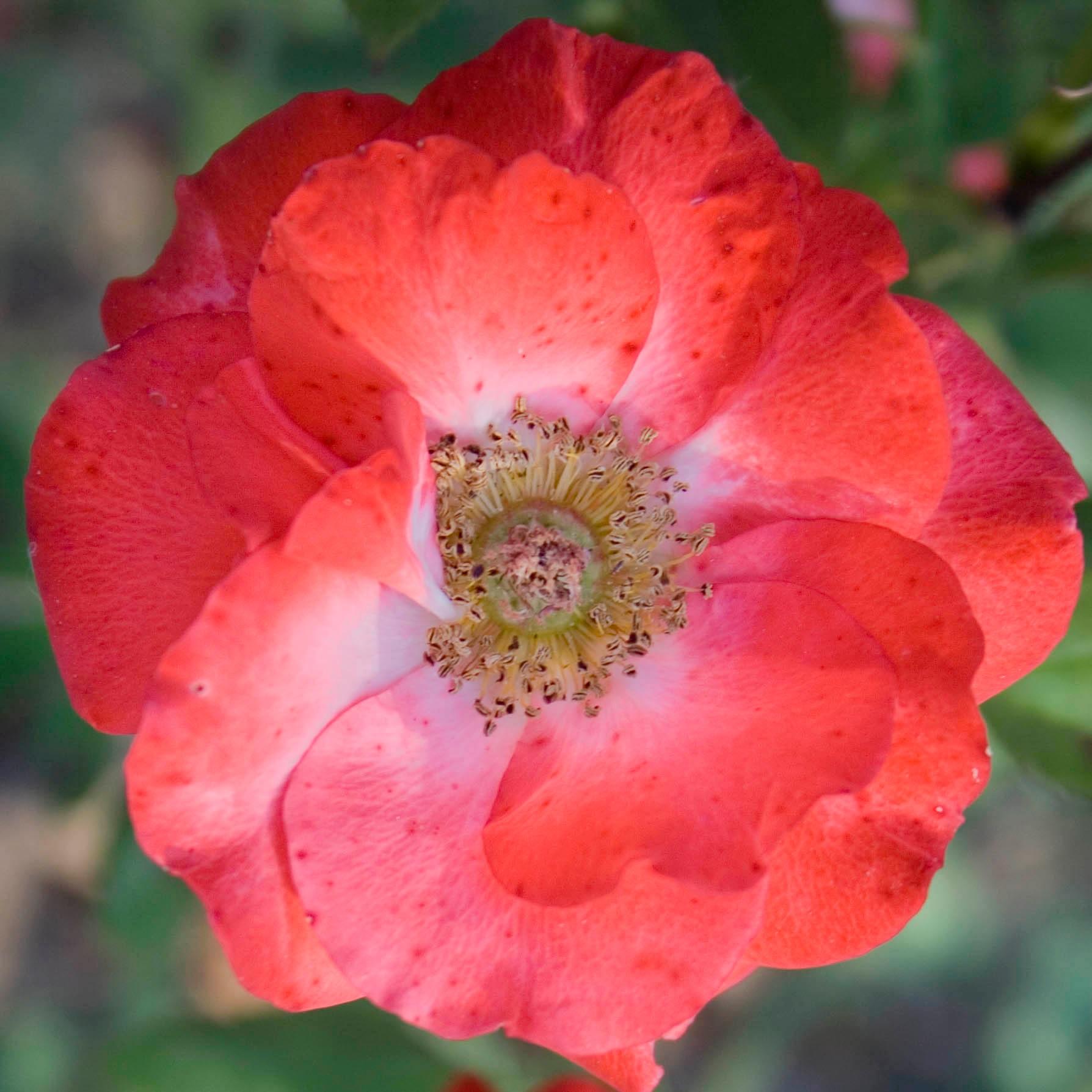 Раскрывшийся красный цветок розы