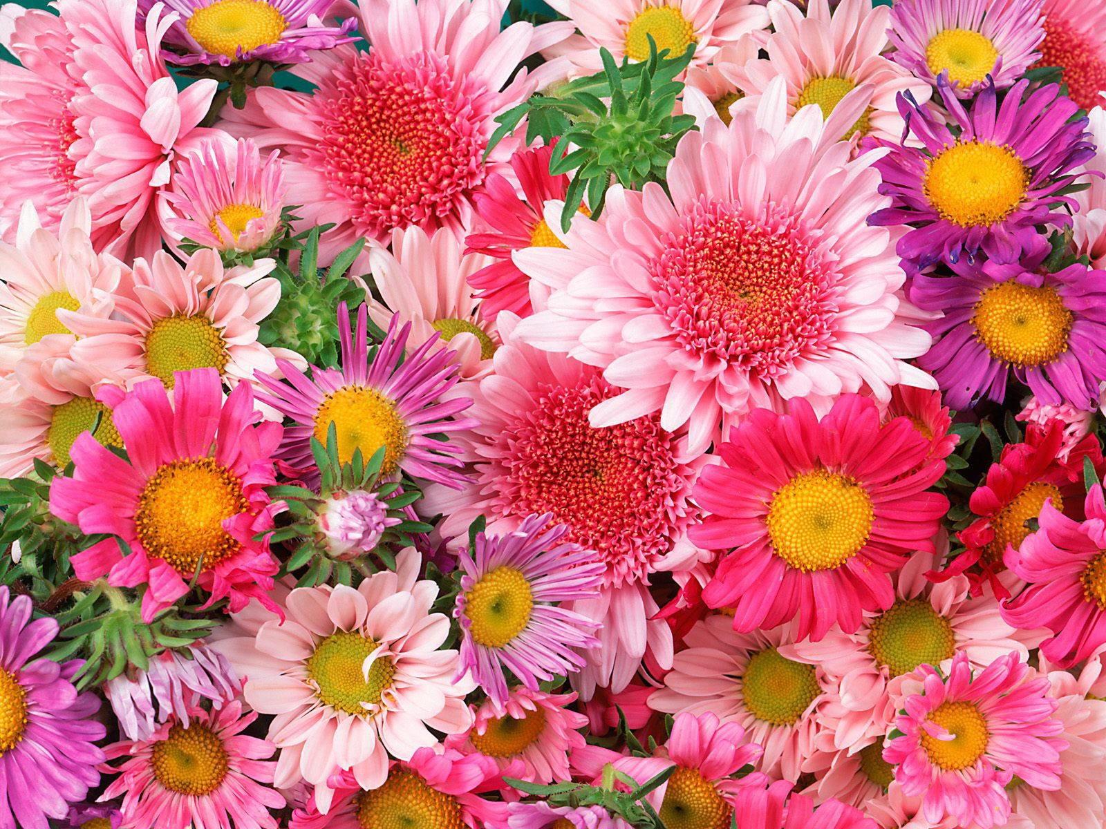 Різноманітність рожевих відтінках у квітах хризантем