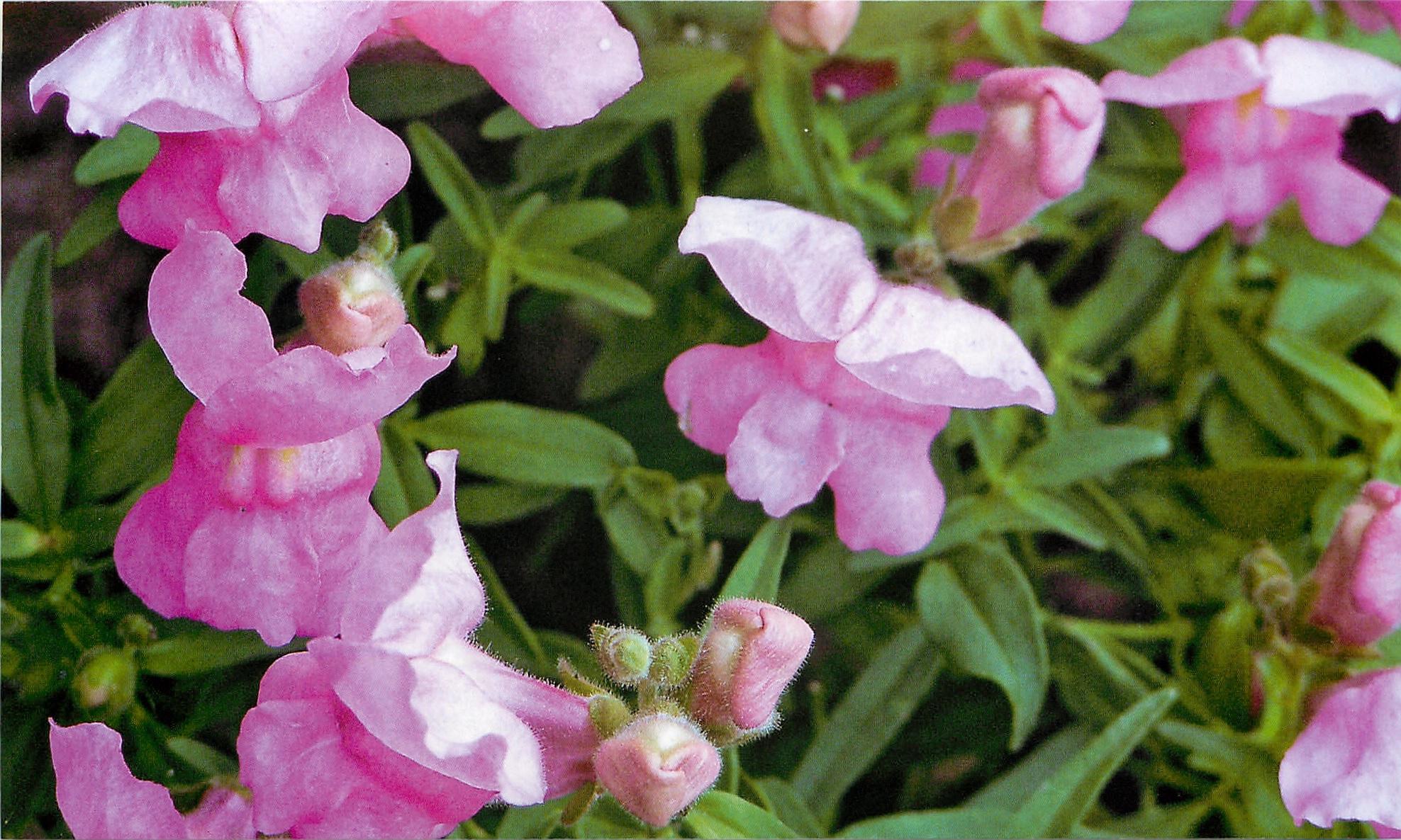 Розовый цветок львиного зева