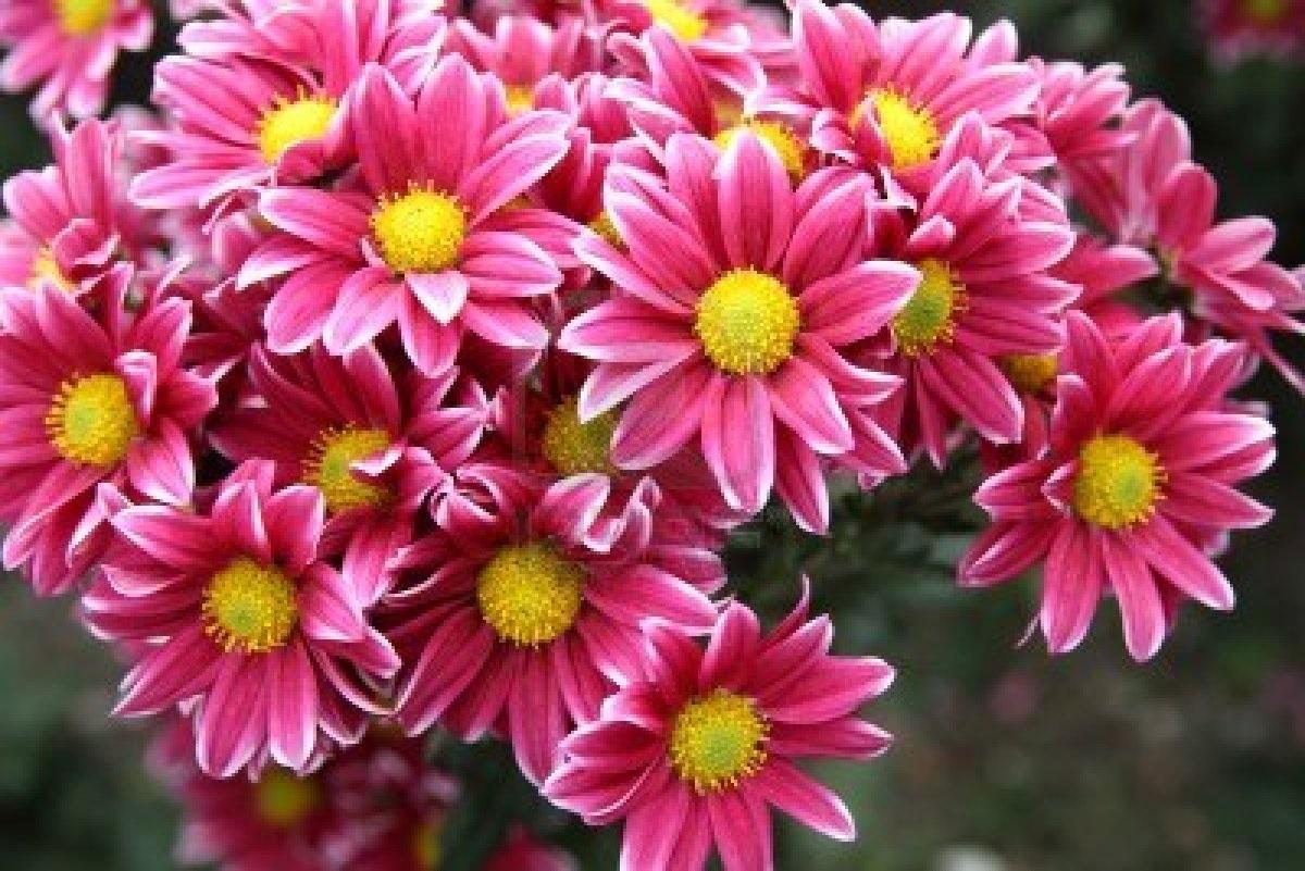 Романтичный букет хризантем
