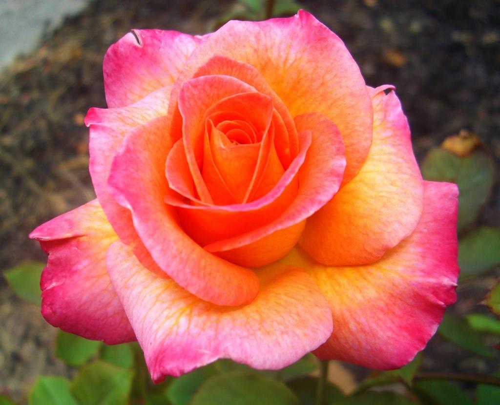 Цветные переливы на лепестках роз