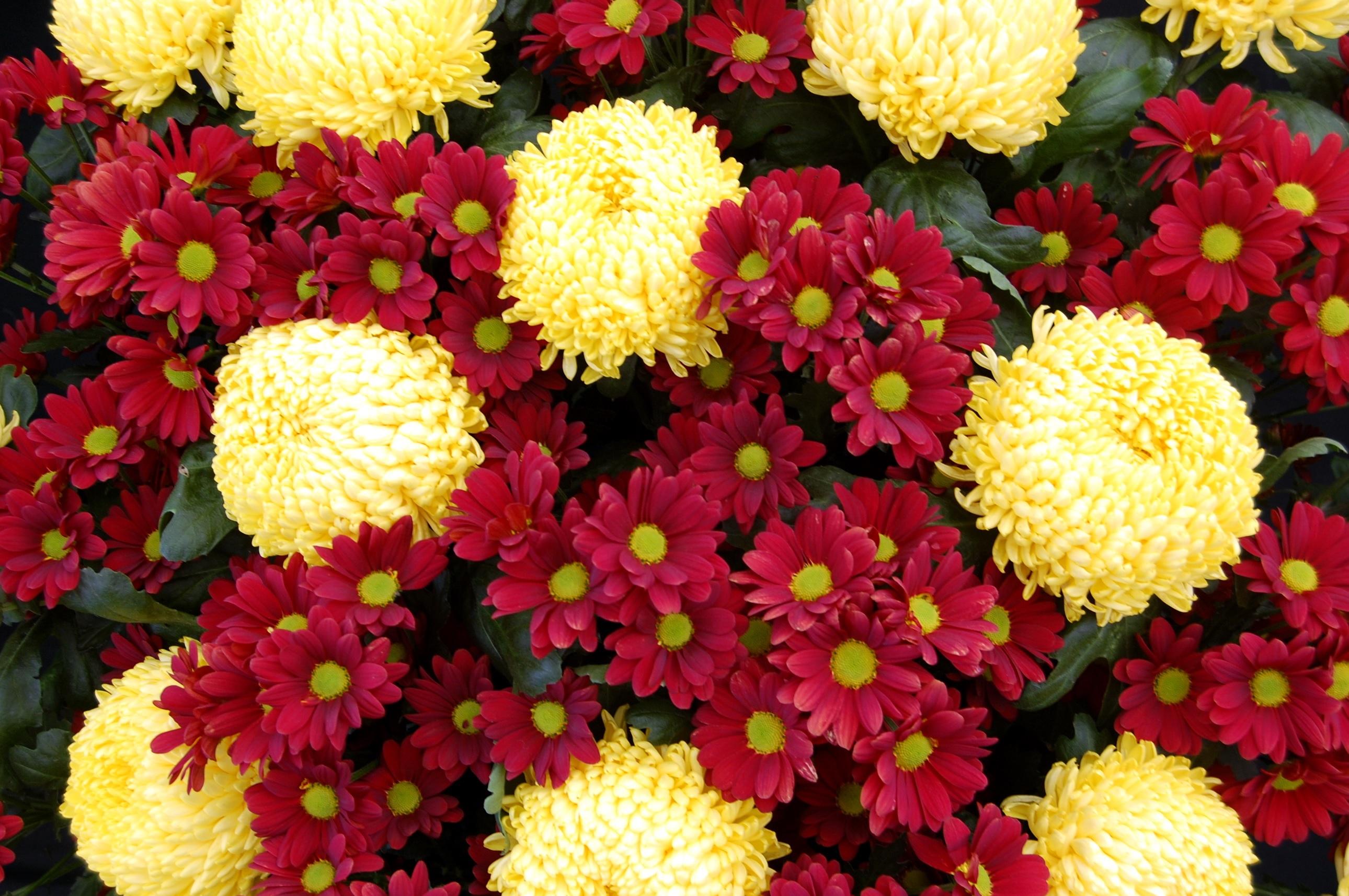 Поєднання жовтих і червоних хризантем