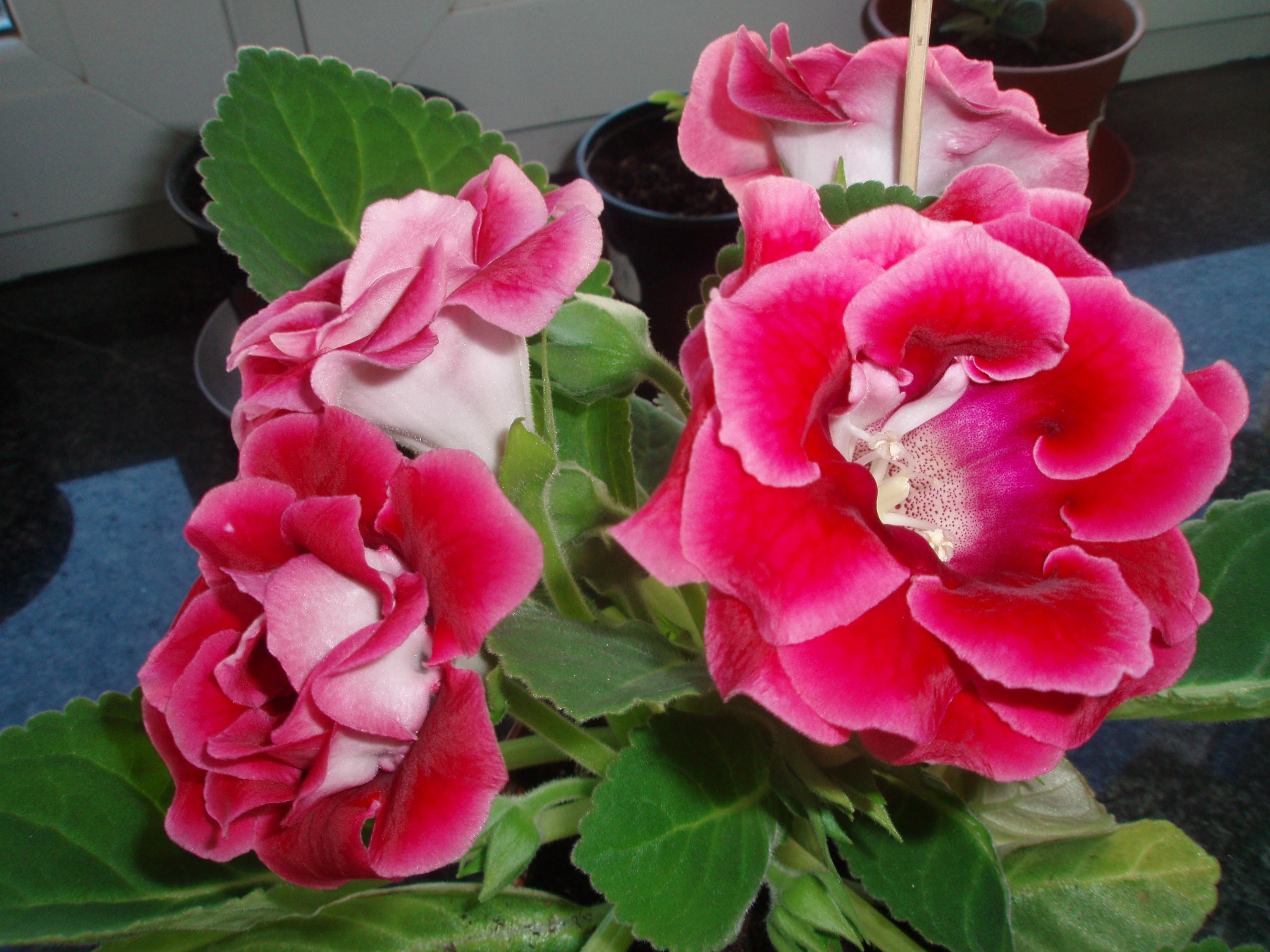 Оттенки розового на цветах глоксинии