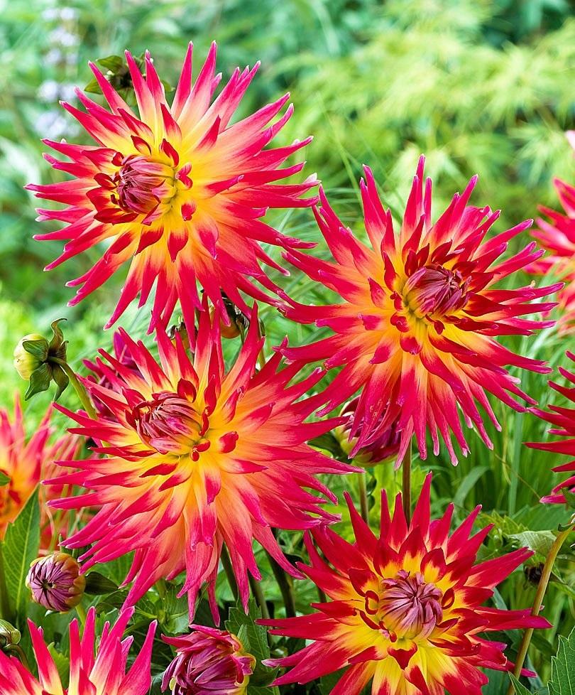 Сочетание желтого и красного на цветках георгины