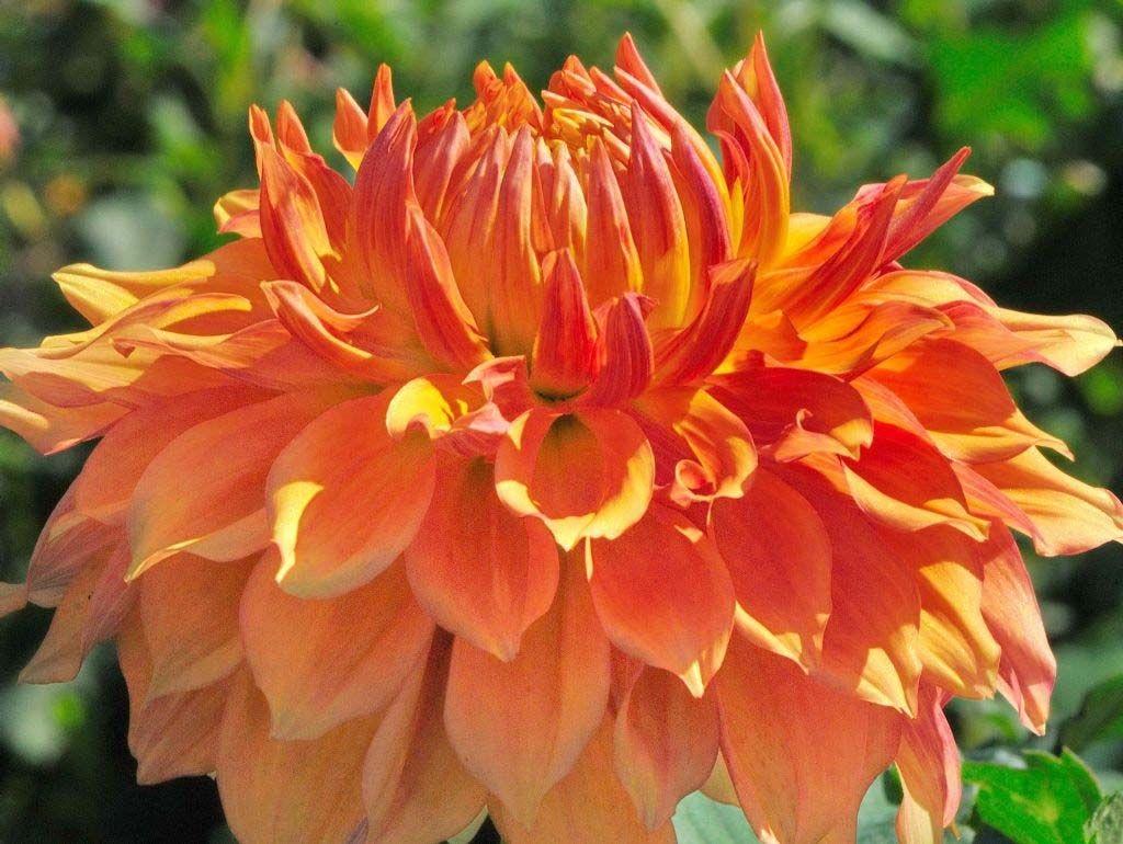Оранжевый цветок георгины