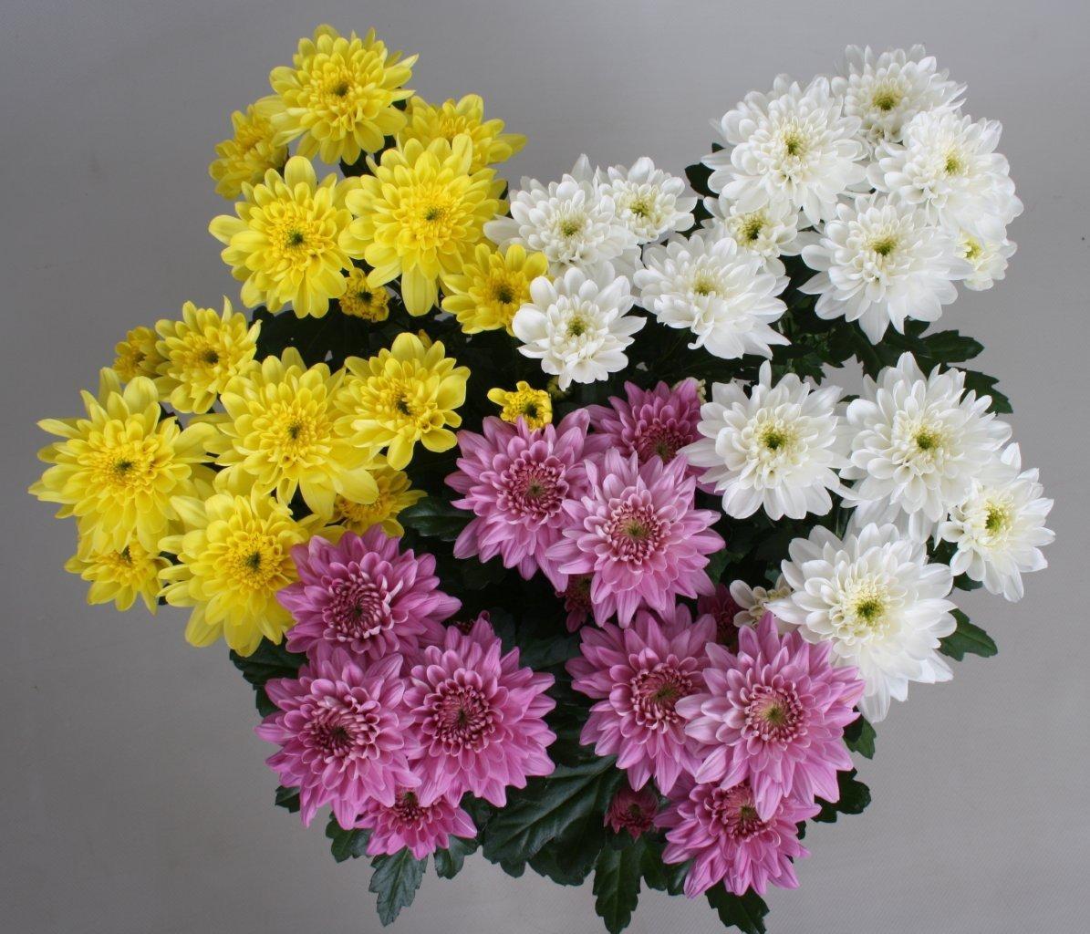 Букет з різних за кольором хризантем