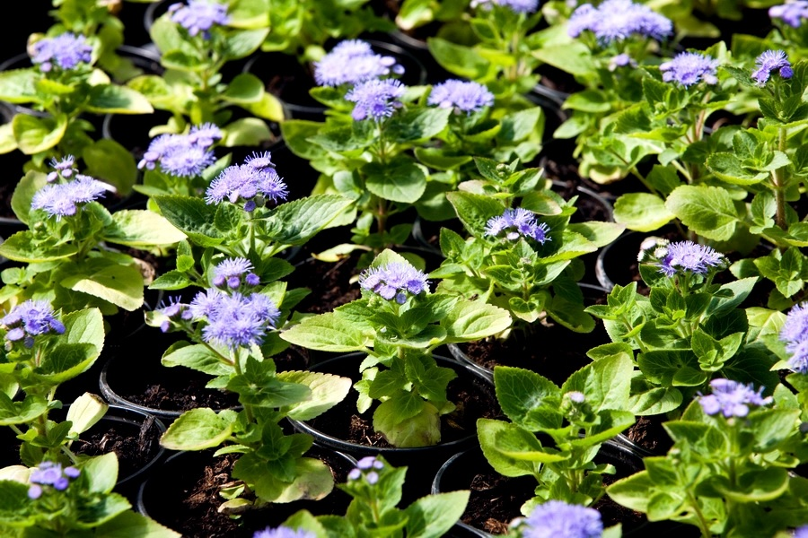 Начало цветения агератума