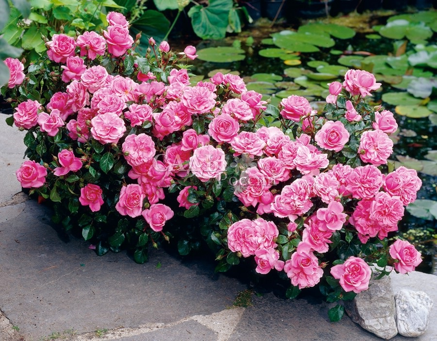 Бордюр из розы флорибунда