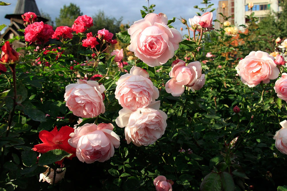 Крупные цветы роз