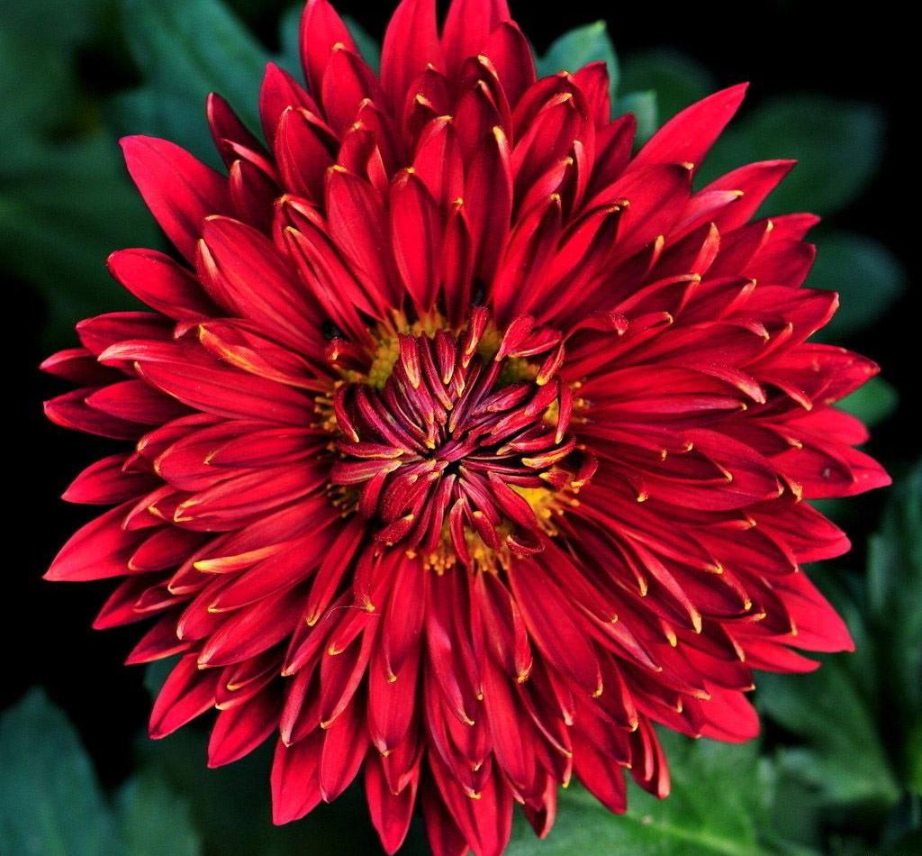 Крупноцветная красная хризантема