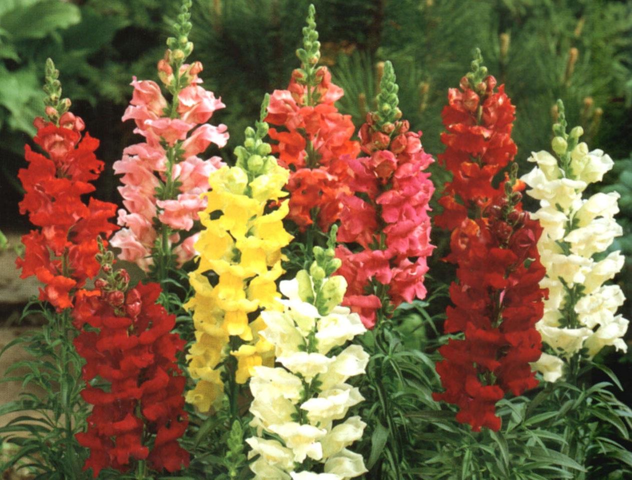 Высокие садовые цветы и названиями от а до я