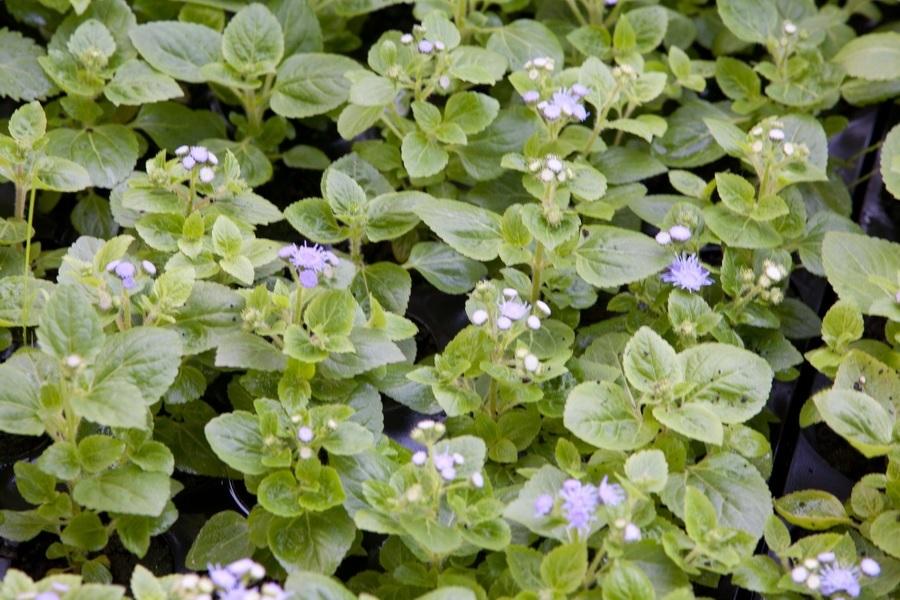 100 прекрасных агератум на фото: уход, выращивание и виды